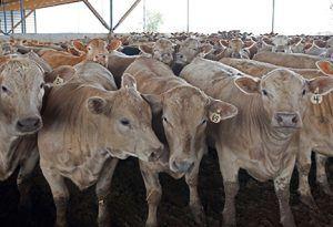 summit livestock facilities, monoslope beef barns