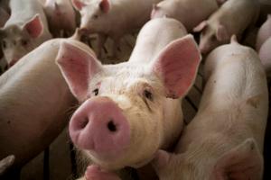World Pork Expo Canceled_Summit Livestock Facilities