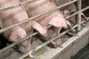 pigs feeding joint trough