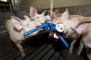 Hogs Playing, Summit Engineering & Construction