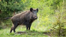 Wild Boars_African Swine Fever_Summit