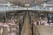 Summit Livestock Facilities_Pigs_Pig Barn-2