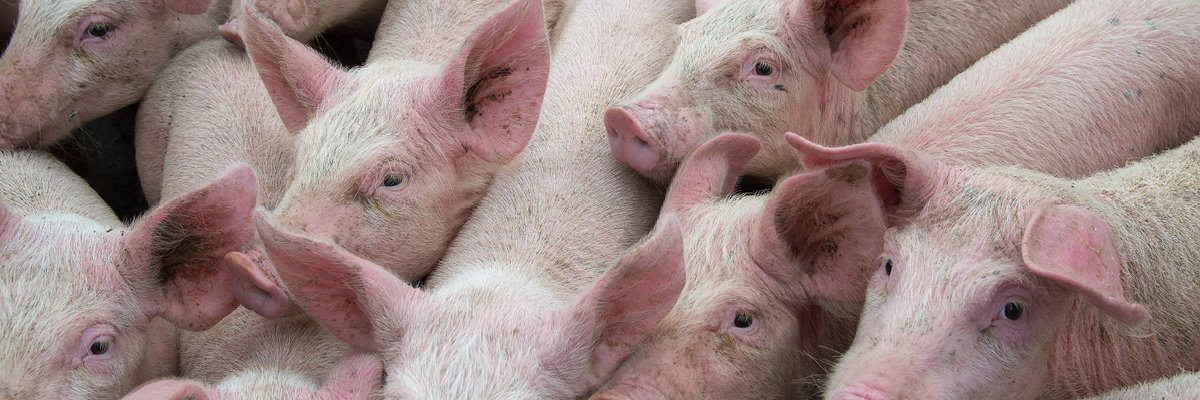 Feed Additives Can Help Manage Spreading Risks of African Swine Fever