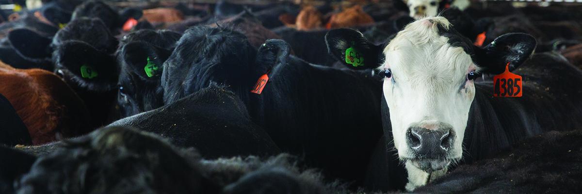 Black Baldy Cows Show Crossbred Advantages