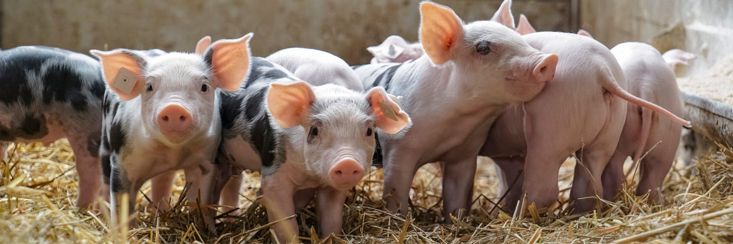 Looking Ahead: Measuring Pigs Emotions