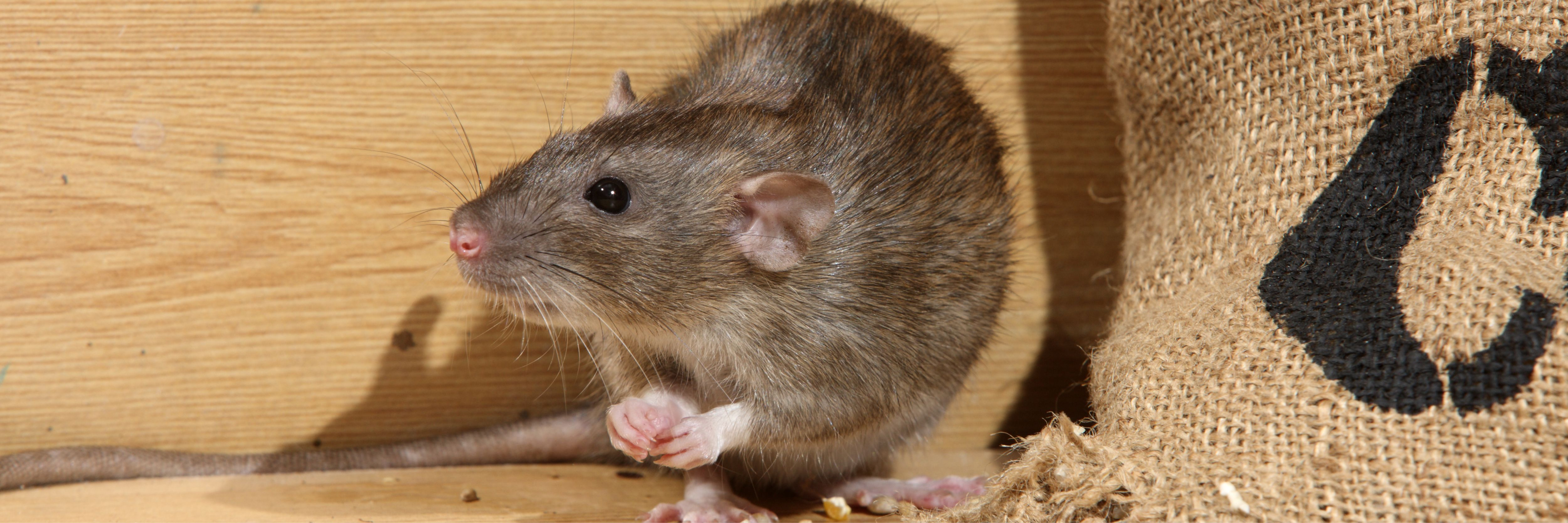 Rodents Pose Significant Risks to Poultry Producers